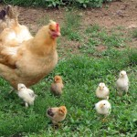 mama chicken and chicks