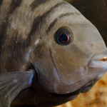 Male_Convict_Cichlid