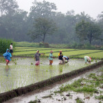 Rice_plantation_in_Java