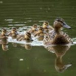 duck and babies