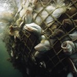 fish suffering in net