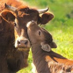 mother and calf cows