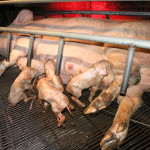 pigs_mother-and-piglets-in-farrowing-crate