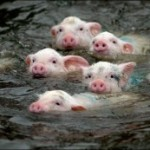 swimming-pigs-300x173