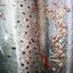 wild salmon with parasitic lice