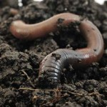 Common european earthworm (Lumbricus terrestris)