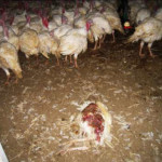 turkeysfactoryfarms2